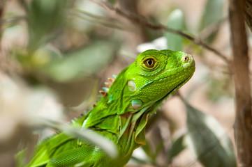 Headshot of a Baby Green Iguana