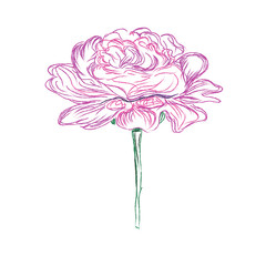 peony, flower, sketch, hand drawing, vector, illustration