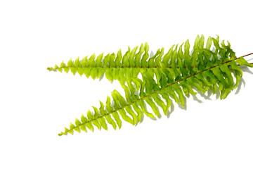 Boston Fern. Scientific name: Nephrolepis exaltata (L) Schott.