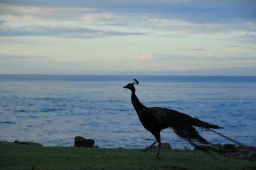 友ヶ島の野生の孔雀