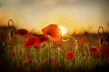 Poppies at sunset