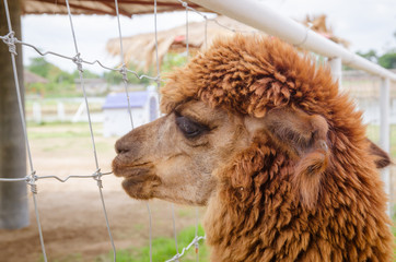 Alpaca,closeup of Alpaca