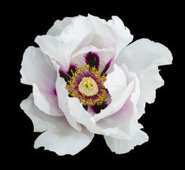 White peony flower macro photography