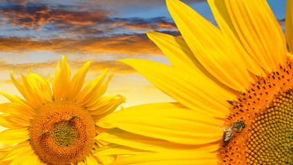 Honey bee on a sunflower at sunset