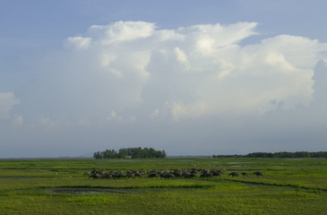 there are grazing field at thale noi lake, phatthalung,Thailand