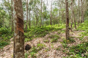 Rubber tree garden in Thailand