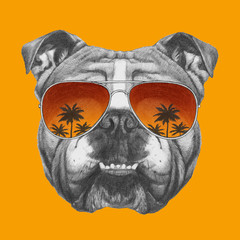 Original drawing of English Bulldog with mirror sunglasses. Isolated on colored background.