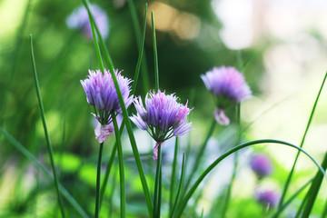 Blühender Schnittlauch - Allium schoenoprasum