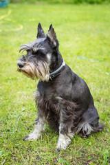 Miniature schnauzer sits on the green grass. Dog outdoor portrait.