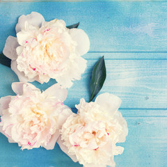 Splendid white peonies  flowers on blue painted wooden planks.