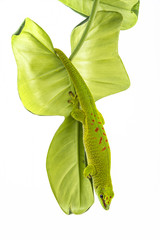 Wall Mural - Phelsuma madagascariensis - gecko isolated on white