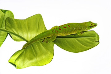 Wall Mural - Phelsuma madagascariensis - gecko isolated on white