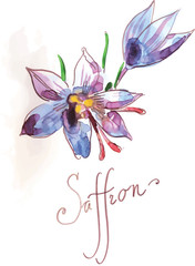 Watercolor saffron, hand drawn, vector