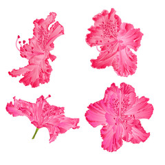 Blossoms pink rhododendron vector