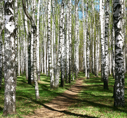 Pathway in spring birch grove