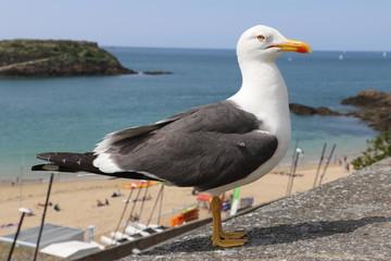 Goéland à Saint Malo