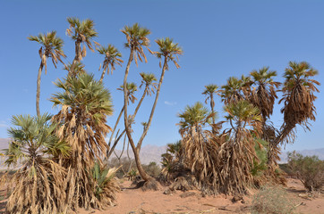 Doum Palm near Eilat Israel