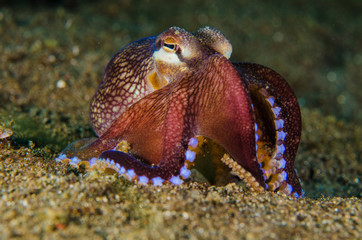 scuba diving octopus lembeh strait indonesia underwater