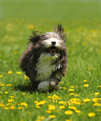 A cute black and white dog running in a field of green grass and yellow dandelions.