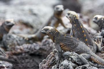 Galapagos marine iguanas, Isabela island (Ecuador)