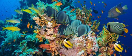 Tropikalna ryba Anthias z koralami ognia netto