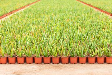 Rows of aloe vera plants in a greenhouse