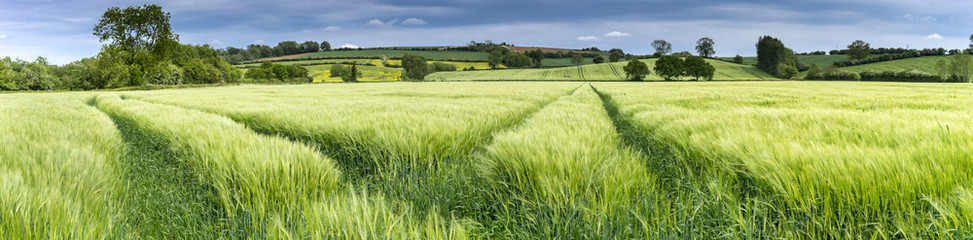 Photo sur Toile Sauvage Panorama of a wheat field in spring