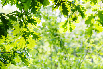 green oak foliage in summer sunny day