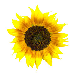 Beautiful yellow and red sunflower isolated on white.