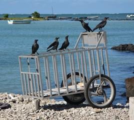 Corbeaux attendant le retour des pêcheurs sur une carriole