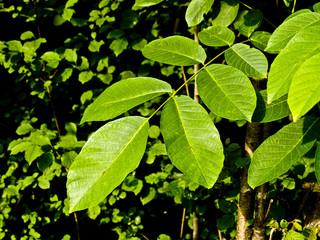 foglie al sole