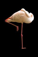Sleeping standing flamingo bird Isolated background