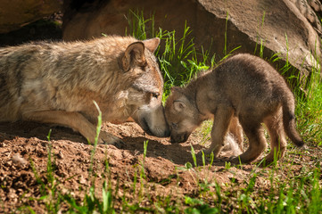Fotomurales - Grey Wolf (Canis lupus) Mother and Pup Touch Outside Den