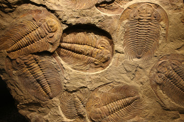 fossil trilobite imprinted in the sediment.