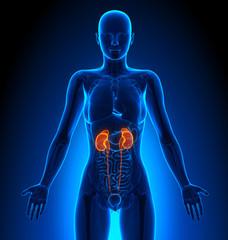 Kidneys - Female Organs - Human Anatomy