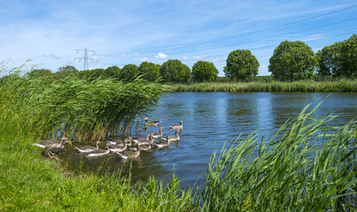 Geese on the shore of a sunny canal in spring