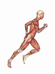 Anatomy of Male in Running Motion: Featuring male figure in running motion showcasing major muscular groups such as deltoids, triceps, biceps, quadriceps, hamstrings and obliques.