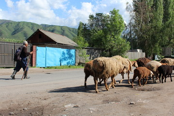 Shepherd and Sheep. The shepherd drives his sheep on the village street.