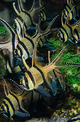 scuba diving lembeh indonesia banggai cardinalfish underwater