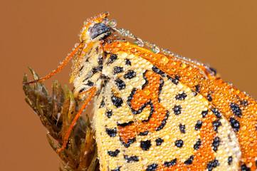 Farfalla Melitaea didyma
