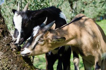 Caprette tibetane mangiano la corteccia di un albero
