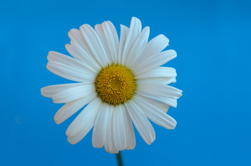 Chamomile flower on a blue background