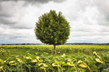 Isolated tree in a sunflowers field with copy space