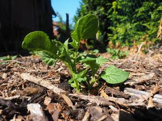Jungpflanzen Kartoffeln