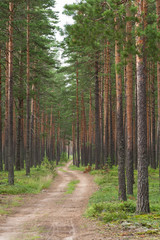 pine forest in day summer