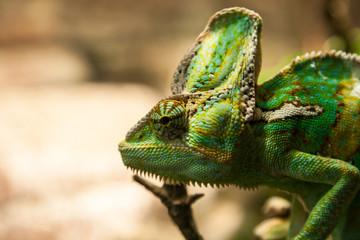 portret green chameleon on the plante
