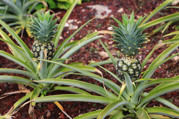 Growing Hawaiian gold pineapple plants with pineapple fruits (Ananas comosus)