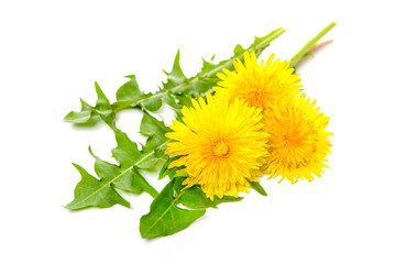 Healing herbs. Dandelion isolated on white background