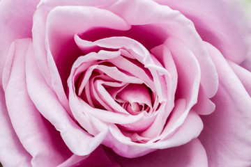 Colorful rose detail background