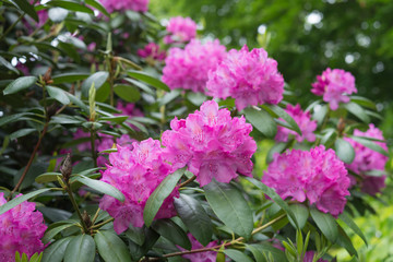 Aerial view pink Rhododendron tree blossoms spring garden background